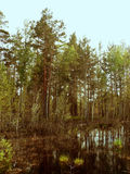 The swamp in a pine forest Stock Photos