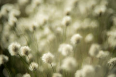 Swamp plant. Cotton grass or Wollgras, or Eriophorum plant near swamp stock images