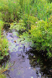 Swamp Plants Stock Photos