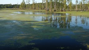 Swamp pond. Tress growing in a southern swamp lake Stock Photography