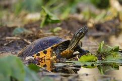 Swamp Pond Slider River Turtle, Okefenokee Swamp National Wildlife Refuge. Swamp Pond Slider River Turtle, Spatterdock lily pads, Canoe Kayak Trail in Okefenokee royalty free stock photo