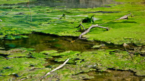 Swamp. Pond water green nature swamp Royalty Free Stock Photography