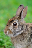 Swamp Rabbit, Swamp Hare,(Sylvilagus aquaticus), Stock Photography