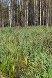 Swamp reed birch stock photo