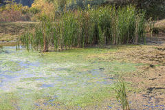 Swamp with reed. Natural wilderness with green reed on the swamp Stock Photography