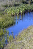 Swamp and Reeds in the pacific northwest. In summer Stock Image
