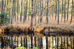 Swamp reflecting tall trees in forest. Calm swamp water reflecting tall trees in forest with tall patches of grass during autumn season Stock Photography