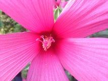 Swamp Rose Mallow flower macro. Swamp Rose Mallow, Swamp Rose Mallow, Hibiscus moscheutos, Flower macro stock images
