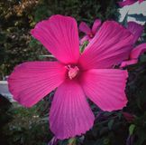 Swamp Rose Mallow flower macro. Swamp Rose Mallow, Swamp Rose Mallow, Hibiscus moscheutos, Flower macro stock photos