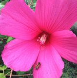 Swamp Rose Mallow flower macro with be3. Swamp Rose Mallow, Swamp Rose Mallow, Hibiscus moscheutos, Flower macro with bee royalty free stock images
