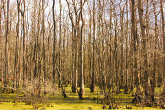 Swamp Scene. Warm tones of a swamp in South Louisiana Stock Image