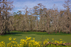 Swamp Scene. Cypress and Spanish moss as seen in a swamp in South Louisiana Stock Images