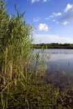 Swamp scene. A swamp lake in the summer time Royalty Free Stock Photo