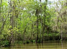Swamp scene. Shot of the hanging miss and green trees in the bayou swamps of Louisiana royalty free stock photo