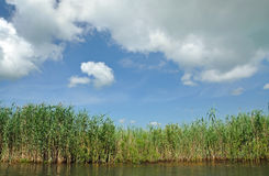 Swamp with sedge vegetation in the Danube Delta Royalty Free Stock Image