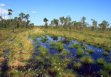 Swamp in the Siberian taiga Stock Image