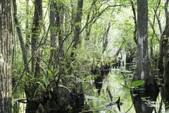 Swamp At Slough Preserve. Many cypress tree stumps can be seen though out the scene. Picture taken at Six Mile Cypress Slough Preserve, Fort Myers - FL, USA Stock Images