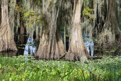 Swamp. A Small Freshwater Swamp in Florida royalty free stock photography