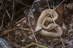 Swamp Snake Stock Photography