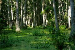 Swamp. Spanish moss and alge in swamp Stock Image