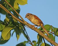 Swamp Sparrow Stock Image