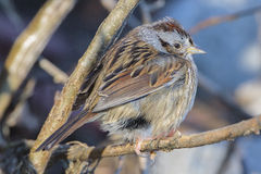 Swamp Sparrow in the cold. Close-up of a Swamp Sparrow, feathers fluffed up in the cold winter Stock Photos
