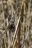 Swamp Sparrow, Melospiza georgiana Royalty Free Stock Photo