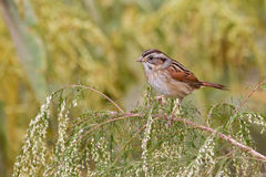 Swamp Sparrow (Melospiza georgiana) Stock Photo