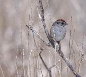 Swamp Sparrow Royalty Free Stock Images
