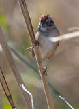 Swamp Sparrow Stock Images