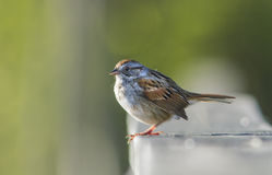 Swamp Sparrow Stock Photo