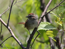 Swamp Sparrow, Melospiza georgina. A small songbird with rufus cap perches on branch near edge of marsh in spring,Ontario,Canada stock images