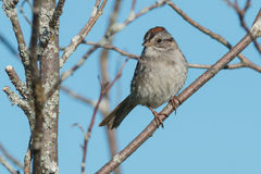 Swamp Sparrow Royalty Free Stock Image
