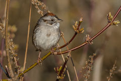 Swamp Sparrow Stock Photography