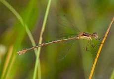 Swamp Spreadwing Royalty Free Stock Photo
