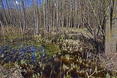 Swamp spring . close-up Stock Image