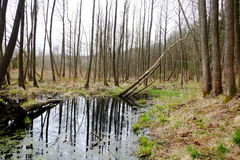 Swamp in spring royalty free stock photography