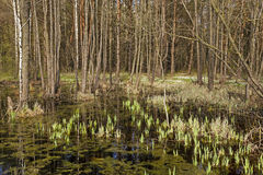 Swamp . spring season Stock Photos