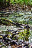 Swamp Stock Image