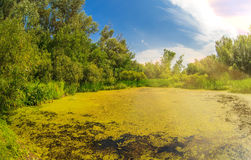 Swamp sucked duckweed green with blue sky in the Royalty Free Stock Images