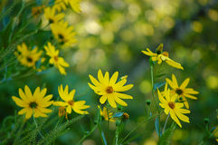 Swamp sunflower royalty free stock image