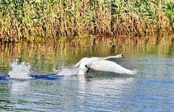 Swamp taking off in the Danube Delta Royalty Free Stock Photos
