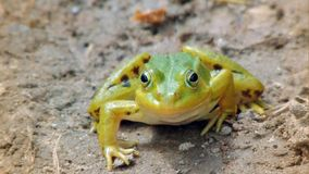 The swamp tree frog stock image