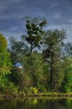 Swamp tree with mistletoe Stock Image