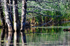 Swamp trees Stock Images