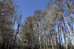 Swamp trees Stock Image