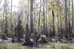 Swamp trees. A photograph of a heavily forest swamp Royalty Free Stock Photography
