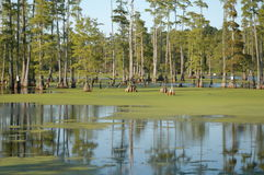 Swamp trees Royalty Free Stock Photos
