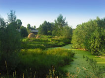 Swamp. Among the trees and bushes in the village Royalty Free Stock Image