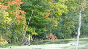 Swamp & Trees in the Fall. Fall colors on trees next to a swamp Royalty Free Stock Photos